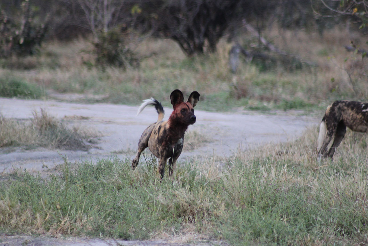 Wilddogs on the hunt seen whilst on a self drive safari with McKenzie 4x4