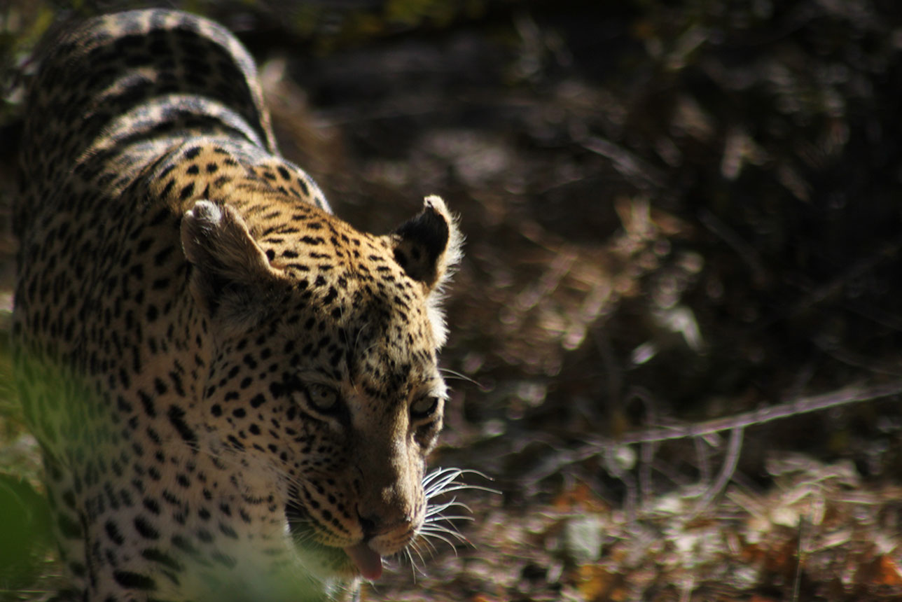 Leopard spotted whilst on a self drive safari with McKenzie 4x4