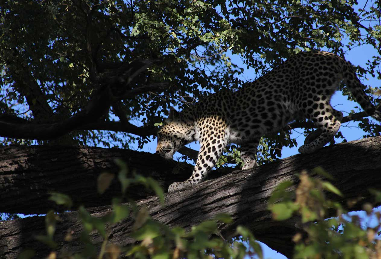 A leopard seen on a self drive in Moremi