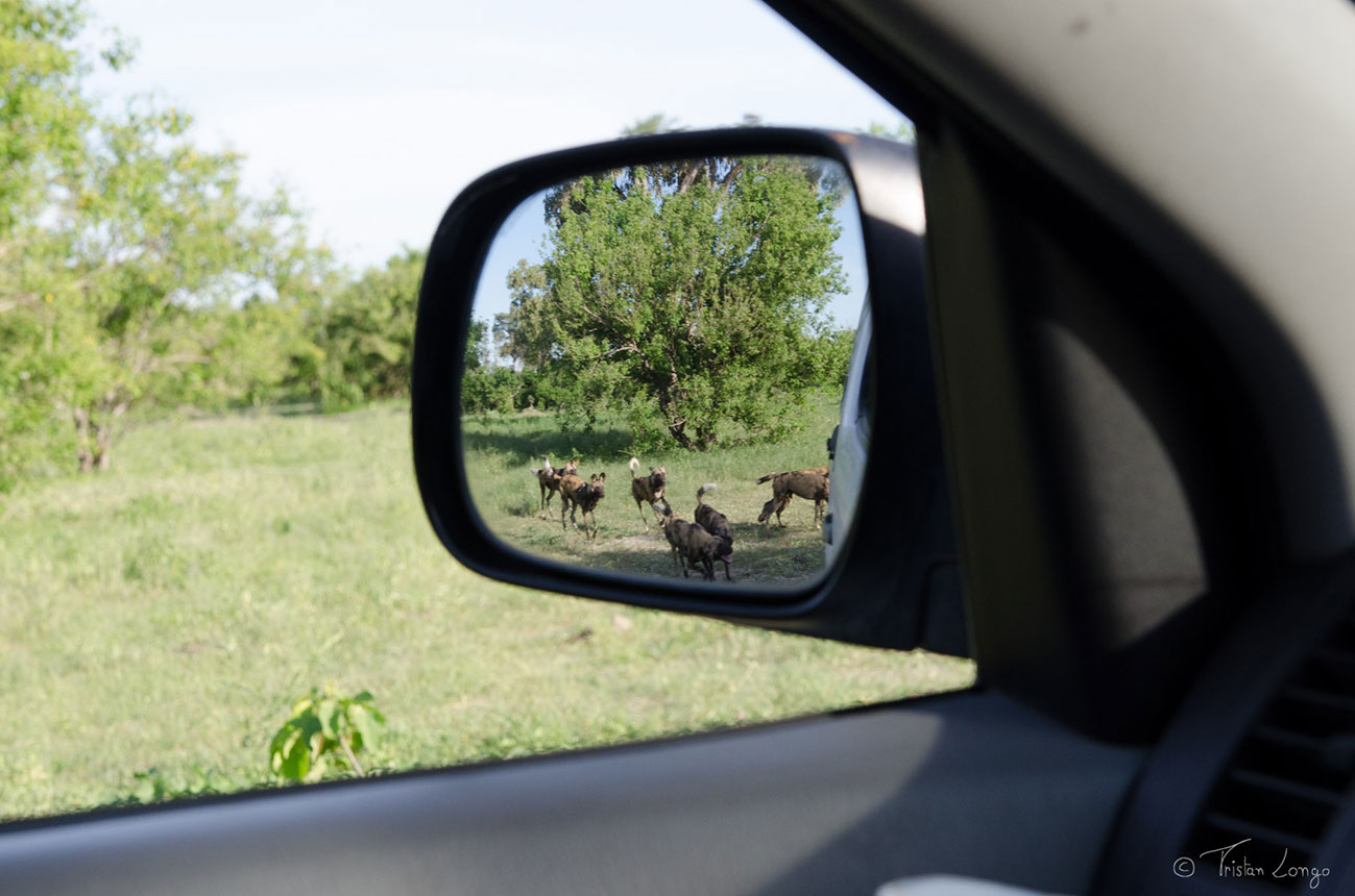 Wilddogs seen on a McKenzie 4x4 self drive